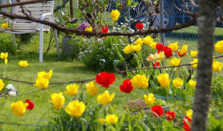 dora's tulips